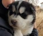 Puppy 2 Akita-Alaskan Malamute Mix