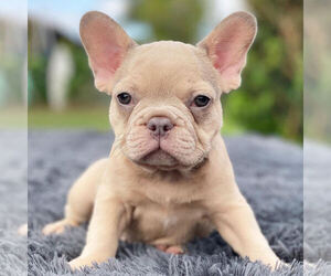 French Bulldog Dog for Adoption in HILLSBORO BCH, Florida USA