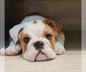 English Bulldog Puppy for sale in PALATINE, IL, USA