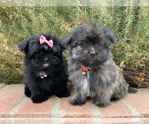 Maltipoo Dog for Adoption in LOS ANGELES, California USA