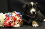 Australian Shepherd Puppy For Sale in QUEEN CREEK, AZ
