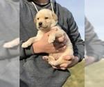 Small #3 Goberian-Golden Labrador Mix