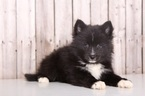 Siberian Husky Puppy For Sale in MOUNT VERNON, OH, USA