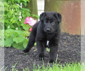German Shepherd Dog Puppy for Sale in FREDERICKTOWN, Ohio USA