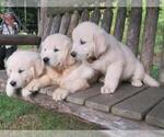Golden Retriever Puppy For Sale in MILLVILLE, MA, USA