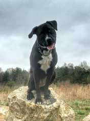 Posh - The Happiest Girl Around! - Labrador Retriever / American Staffordshire Terrier / Mixed (short coat) Dog For Adoption