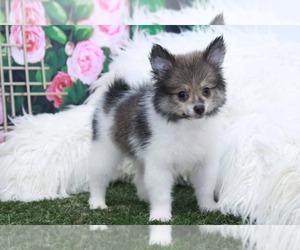 Pomeranian Puppy for sale in MARIETTA, GA, USA