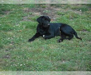 Mother of the Labrador Retriever puppies born on 12/02/2019