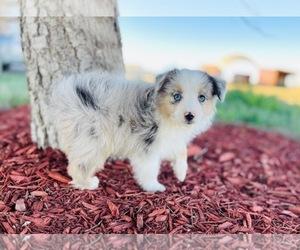 Miniature Australian Shepherd Puppy for Sale in BLACK FOREST, Colorado USA
