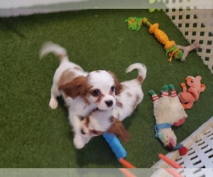 Cavalier King Charles Spaniel Puppy for sale in KENDALL, WI, USA