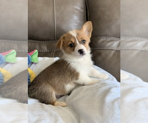 Pembroke Welsh Corgi Puppy for Sale in BILLINGS, Missouri USA