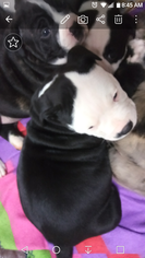 Alapaha Blue Blood Bulldog Puppy For Sale in COLUMBUS, OH, USA