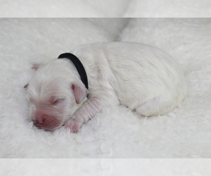 Goldendoodle Puppy for Sale in HOMELAND, California USA