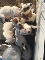 American Bulldog Puppy For Sale in YOUNGSVILLE, LA