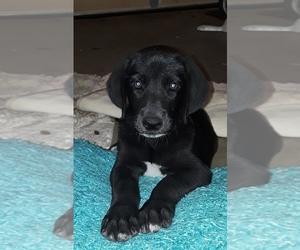 Anatolian Shepherd-Great Dane Mix Puppy for sale in LEANDER, TX, USA