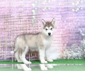 Alaskan Malamute Puppy for sale in BEL AIR, MD, USA