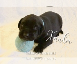Labrador Retriever Puppy for Sale in DALLAS, Oregon USA