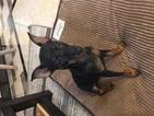 Miniature Pinscher Puppy For Sale in MCKINNEY, TX, USA
