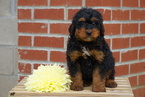 Mini Bernedoodle For Sale Male Rowdy
