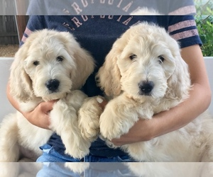 Goldendoodle Puppy for sale in SACRAMENTO, CA, USA