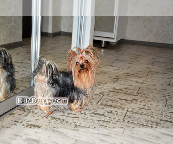 Medium Photo #1 Yorkshire Terrier Puppy For Sale in Kryvyi Rih, Dnipro, Ukraine
