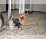 Small Photo #1 Yorkshire Terrier Puppy For Sale in Kryvyi Rih, Dnipro, Ukraine