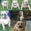 American Pit Bull Terrier Puppy For Sale in ARMUCHEE, GA,