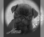 Small Photo #3 Pug Puppy For Sale in ELVERSON, PA, USA