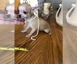 Small #6 Chihuahua