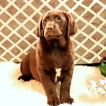Labradoodle Puppy For Sale in GAP, Pennsylvania,