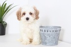 Jett Male Cavapoo Puppy