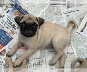 Pug Puppy for Sale in LARGO, Florida USA