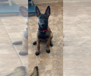 Belgian Malinois Puppy for Sale in MISSION, Texas USA