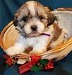 Mal-Shi Puppy For Sale in ANDERSON, AL, USA