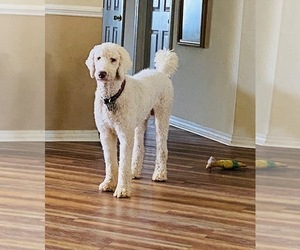Father of the Goldendoodle-Poodle (Standard) Mix puppies born on 10/09/2020