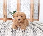 Epic Adorable Red Mini Aussie Poo Puppy
