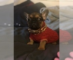 Small French Bulldog