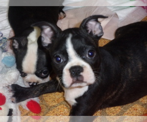 Boston Terrier Puppy for sale in MENDOTA, IL, USA