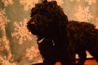 Poodle (Standard) Puppy for sale in BEAVERTON, OR, USA