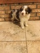 Border Collie Puppy For Sale in WILLS POINT, Texas,