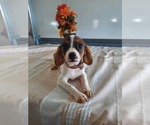 Puppy 3 Cavalier King Charles Spaniel-Rat Terrier Mix