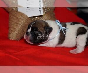 French Bulldog Puppy for Sale in LINCOLNTON, Georgia USA