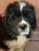 Puppy 7 Newfoundland