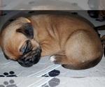 Puppy 10 Dogue de Bordeaux-Masti-Bull Mix
