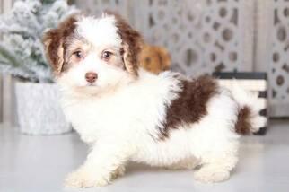 View Ad Havachon Puppy For Sale Near Ohio Mount Vernon Usa Adn