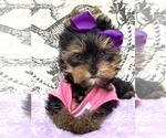 Yorkshire Terrier Puppy For Sale in CORAL SPRINGS, FL, USA