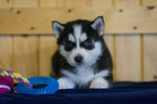 Siberian Husky Puppy For Sale in CUYAHOGA FALLS, OH, USA