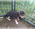 Small Photo #14 Beagle Puppy For Sale in LAFAYETTE, IN, USA