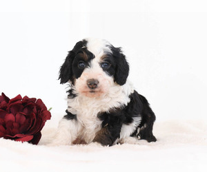 Bernedoodle Puppy for Sale in MILLERSBURG, Pennsylvania USA