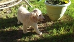 Goldendoodle Puppy For Sale in GLENDALE, AZ,